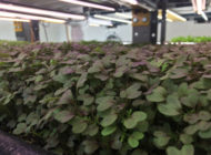Are Aquaponics a Sustainable Alternative to Conventional Agriculture Methods in New York City?