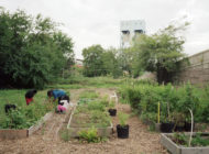 The Politics of NYC's Urban Farming: The City Notices Urban Agriculture