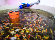 Recycling Fish Water to Fertilize Plants and Grow Food: Oko Farms